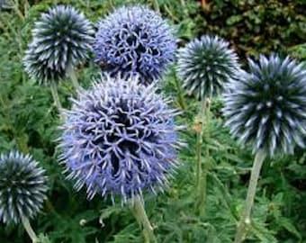 Blue Globe Thistle Flower Seeds / Echinops / Perennial 45+