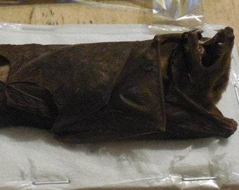 MACROGLOSSUS MINIMUS Hanging Dagger Toothed Real Bat