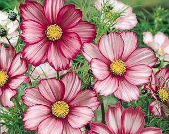 Heirloom 300 Seeds Garden Cosmos bipinnatus Cosmea Wild Mexican Aster Mixed Flower Seeds B1045