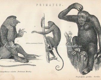 Antique Print, PRIMATES gorilla monkey Chart 1 1890 wall art vintage b/w engraving illustration animals Australia