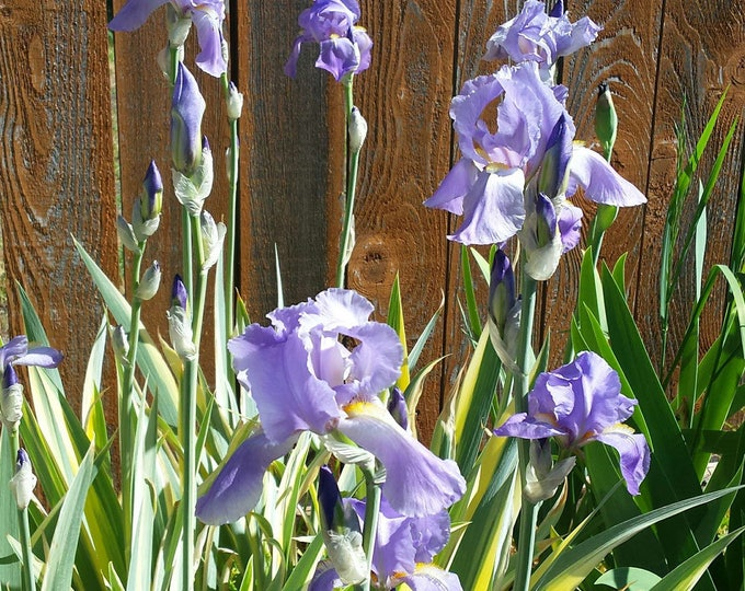Yellow Variegated Fragrant Sweet Iris | Pallida Aureo Variegata Shipped Potted Container Very Easy To Grow