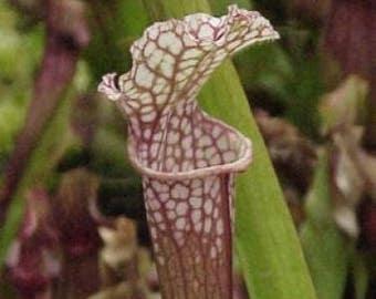 10 Carnivorous WHITE TOP PITCHER Plant Sarracenia Leucophylla Flower Seeds