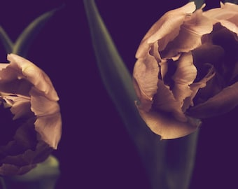 The Tulips II - Fine Art Photograph - dramatic pink green black flower floral modern home decor print