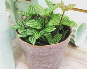 "Peperomia Stilt Plant 4"""