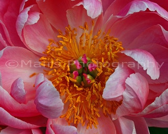Cottage Decor, Pink Yellow Orange Green Nature Garden Flower Peony Delicate, Fine Art Photography matted & signed 5x7 Original Photograph