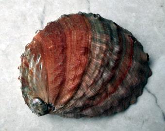 "Red Abalone Seashell (5-6"") - Haliotis Linnacus"