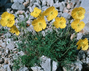 10 Papaver kerneri, Alpine poppy or dwarf poppy,