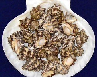 """Drupa Black And White Shells 1/2""""- 1""""~ Craft/Jewelry Seashells Select ~ 10Pcs. ~ Free Shipping ~"""
