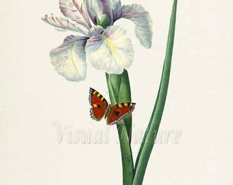 Ixia xiphium Flower Art Print, Botanical Art Print, Flower Wall Art, Flower Print, Floral Print, Redoute Art, white green, butterfly art