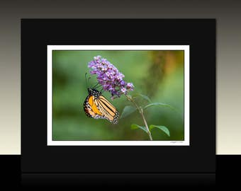 Monarch Butterfly Matted Print, Purple Flowering Milkweed, Orange Butterfly, Ready for framing