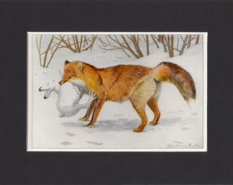Alaska Red Fox 1916 Print by Louis Agassiz Fuertes Vintage Mounted Bookplate Picture with Mat Red Fox Print Alaska Fox Print Alaska Fox