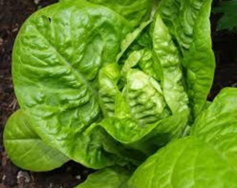"Organic Heirloom ""Gem Lettuce"" seeds"