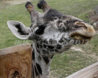 Cleveland Metropark Zoo Giraffe Photograph
