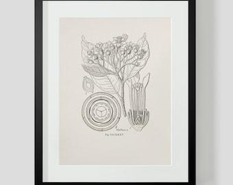 Vintage Botanical Illustration Print 4