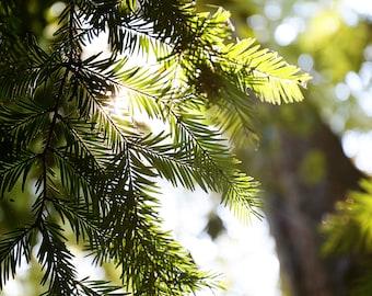 redwood trees art print // redwood tree photography // redwood forest california art print - Branch, original photograph art print