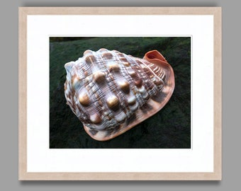 SEASHELL #7 - Framed Art Photography, Home Decor, Wall Art, Nature, beach, seashells