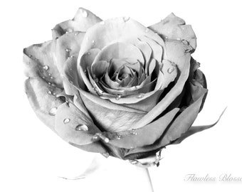 Rose - Nature Photography - Black and White