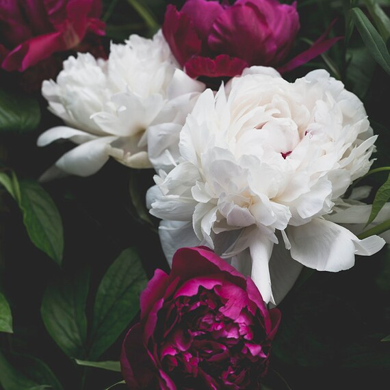 Peony Print, White and Fushia Art, Nature Photography, Floral Home Decor, Botanical Photo, Peonies Fine Art