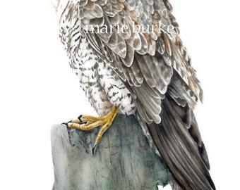 Peregrine Falcon, Bird Watercolour Print, Falcon, Bird Painting, Fine Art Print, Falcon Print, Falcon Painting, Home Decor, Wall Art, Gifts