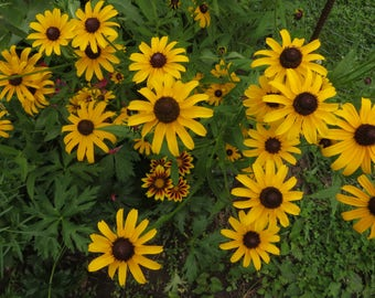 Black Eyed Susan Seed - Rudbeckia hirta - Native Wildflower