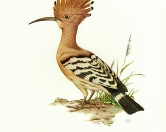 Vintage lithograph of the hoopoe from 1958