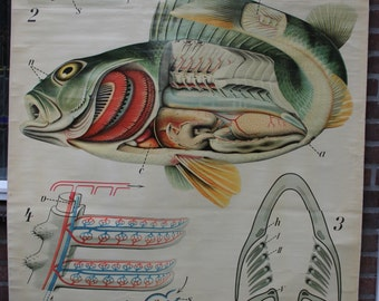 Pull down School Chart  Fish Perch  Pfurtscheller   wall chart