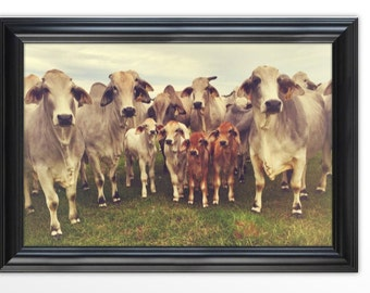 Framed Photograph of Brahman Cattle / Rustic House Decor / Framed Prints / Gifts for Everyone / Country House Decor / For the Home / Brahman