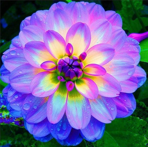 & Grow Your Own Rainbow Dinner Plate Dahlia From Seed 20 Seeds