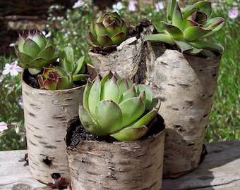 Small Birch bark planters with Succulents Hens and Chicks Set of Three