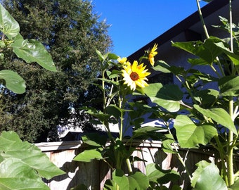 Sunflower Seeds - Helianthus Annuus  - Heirloom Flower Seeds