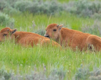 Resting Bison calves, Yellowstone