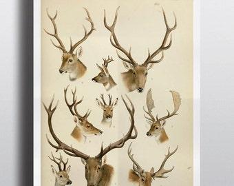 Antique Deer Elk Antlers Scientific Chart Poster Print Deer Head Natural History Wild Life Wall Art Wall Decor 8x10 11x14