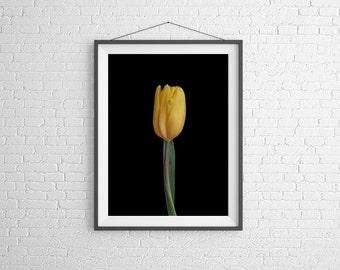 Fine Art Photography Print - Flower, Nature, Studio - Yellow Tulip