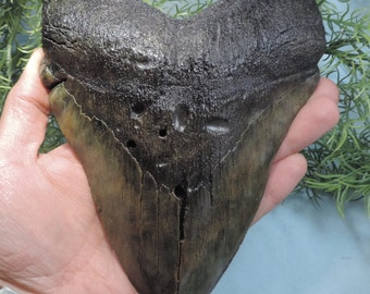 7'' Megalodon Tooth Replica!!