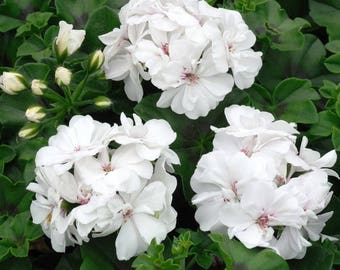 White Geranium Flower Essence, Spiritual Connection, Personal Transformation