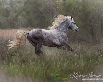 Dreamy Grey Runs - Fine Art Horse Photograph - Horse - Camargue - Fine Art Print