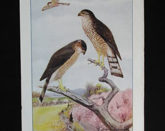 Vintage Sharp-Shinned Hawk Print and Educational Leaflet, Audubon Society
