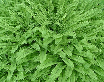 10 Maidenhair Fern bare roots