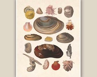 Bivalves Seashells Print, Nautical 10x8 Vintage illustrations,  Seashore art  Print, Coastal Living