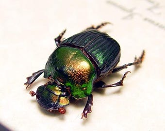 Real Framed Rare Female Phanaeus Igneus Rainbow Scarab Beetle 8486F