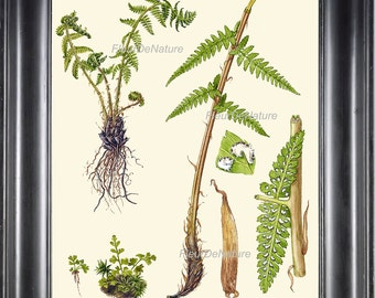 ANTIQUE FERN Print 8X10 Botanical Art Print 8 Lindman Antique Beautiful Green Ferns Forest Nature Natural Science to Frame Wall Decor