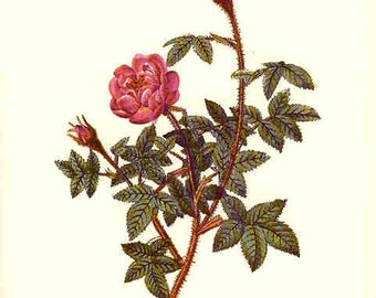 Redoute Botanical Rose Print  20