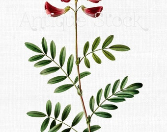 Red Flowers Botanical Illustration 'Pink Bush Pea' Digital Download for Wall Art, DIY Crafts, Jewelry, Design, Collages, Invitations...