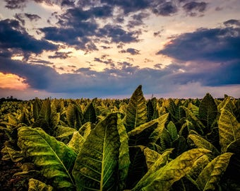 Fine Art Print  //  Indiana Tobacco  // HDR // Photography