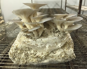 Blue Oyster Mushroom Growing Kit- FREE SHIPPING :-)