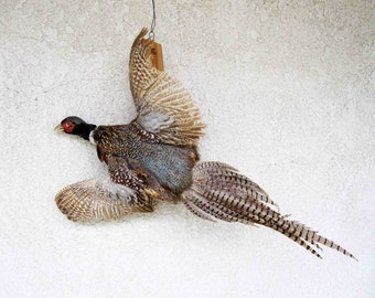 Vintage Taxidermy Pheasant. Mounded on Branch with Outstretched Wings, Circa 1960's.
