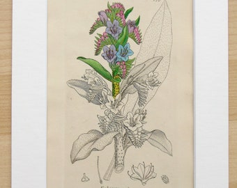 Vipers Bugloss Antique Botanical Flower Print - Original c.1794 Copper Plate Engraving by Sowerby, Mounted/ Matted for Framing (274)