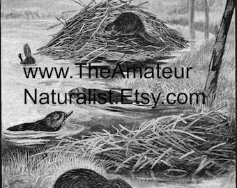 The Beaver Vintage Illustration, Antique Print, Digital Download