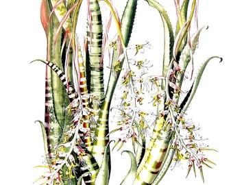 Exotic Bromeliad Print - Billbergia decora - Margaret Mee 1989 Vintage Book Page 11 x 9