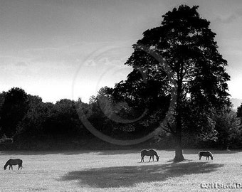 Horses Under Tree With Shadow - Horse Print